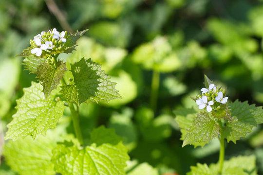 Knoblauchsrauke (Alliaria petiolata) Blüte im Frühling, Wildkraut in der Natur, gesunde Ernährung mit der kraft der Natur, Wildkräuter sammeln, detox