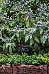 Labelled purple sage bushes in a French garden