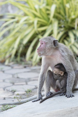 Mother monkey and baby monkey
