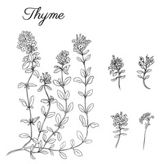 Hand drawn Thyme branch with leaves isolated on white. Healing herb. Botanical Illustration. Graphic. Vector illustration. Perfect for greeting cards, invitations, packaging,label and other project