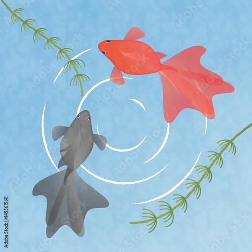 水の中を泳ぐ2匹の金魚 イラスト素材 夏季節素材和風素材fotolia
