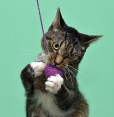 Playful tabby cat