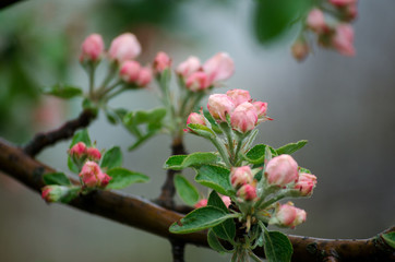 Blossoming apple tree twig with pink bud flowers in the rain. Spring fruit. Tree blooming. Flowering trees in the rain. Close up.