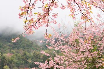 Pink cherry blossom flower on spring at Doi Angkhang Chiang Mai Thailand.
