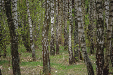 Beautiful natural panoramic landscape - summer birch grove in the evening diffused sunlight. Yellow birch forest, late autumn. Trunks of birch trees black and white