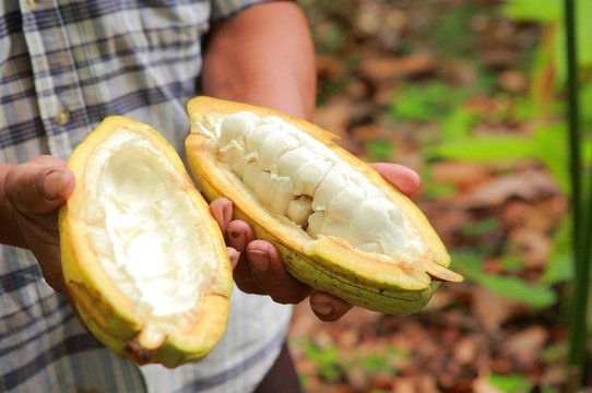 Cacao in Belize / カカオ in ベリーズ