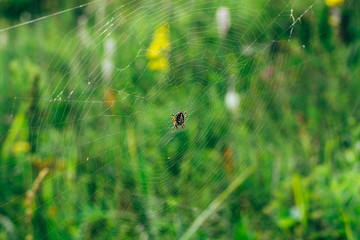 A large yellow-black spider in specks is sitting on a large cobweb in anticipation of the victim. Macro.