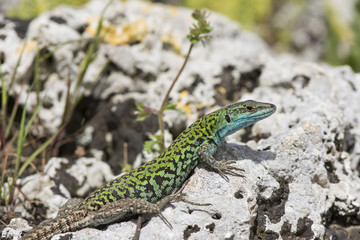 Italian Wall Lizard (Podarcis sicula) in the ancient ruins of Paestum, Italy