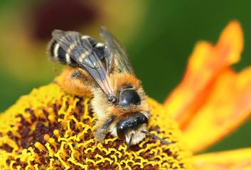 European honey bee (Apis mellifera) on a flower