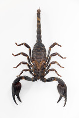 Scorpionidae for education in laboratory.