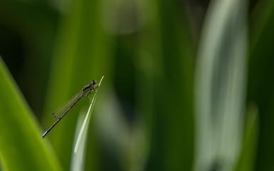 tiny dragonfly on iris leaf - macro