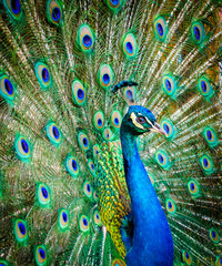 Portrait of a beautiful peacock. Nature, photo of wild animals. Peacock with a beautiful blossomed tail