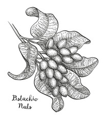 Sketch of pistachio branch