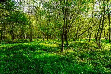 fresh green forest and evening sunlight
