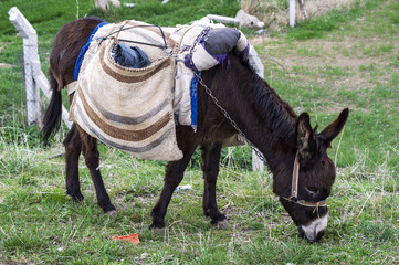 Pictures of beautiful black donkeys carrying loads, pictures of a cute shepherd's ass