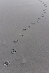 Animal Foot Prints in the Sand
