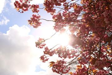 Acrylic Prints Cherryblossom Bloesem in het zonlicht