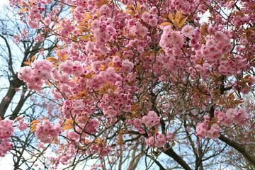 Acrylic Prints Cherryblossom Kersenbloesem in het park