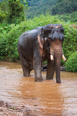 Elefant sitting in river in the rain forest of Khao Sok sanctuary, Thailand