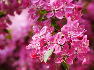 Crabapple blossoms on tree branches closeup