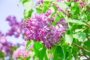 Wall Murals Lilac Blooming varietal selection purple lilac (Syrínga). The sort of