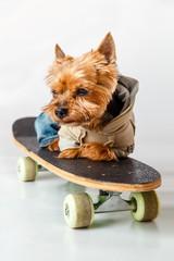 Yorkshire Terrier resting lying on skateboard