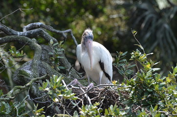 wooden strork in the nest on the three in Florida