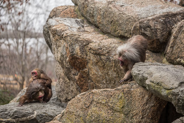 Very funny. Monkeys making love and smiling at zoo in Berlin
