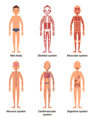 Body anatomy of men. Nerves and muscular systems, heart and other organs. Vector illustration set