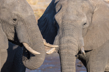 Couple of African Elephant, young and adult, at waterhole. Wildlife Safari in the Chobe National Park, travel destination in Botswana, Africa.