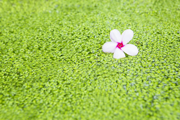 Pink Frangipani flower on the green algae