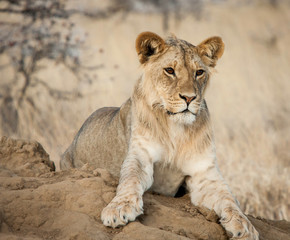 Young Lion at Sunset