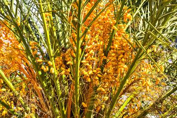 Ripe dates on the palm tree