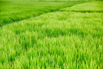 Meadow Green rice grass field.