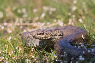 Smooth snake in spring grass. Reptile Coronella austriaca