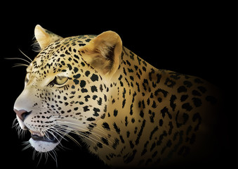 Leopard on Black Background - Detailed and Realistic Colored Illustration, Vector