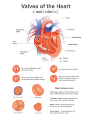 A heart valve opens or closes incumbent on differential blood pressure on each side..Vector design.