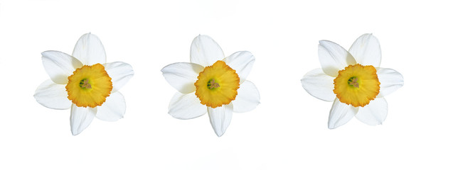 Daffodil white flower on a white background. Spring flowers.