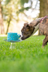 English Bulldog Puppy Eating Cake