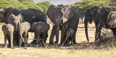 Herd of African elephants in Serengeti National Park, . True wildlife photography