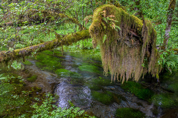 Moss covered branch by the river, Olympic National Park