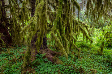 Moss covered trees, Olympic National Park