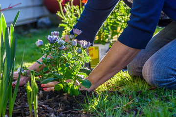 woman planting colorful spring flowers in yard