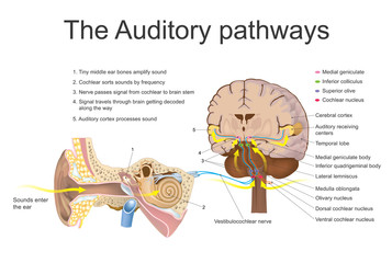 Auditory pathways. Vector graphic.