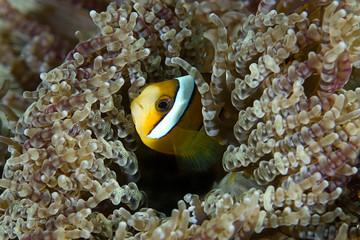 Baby Anemone fish