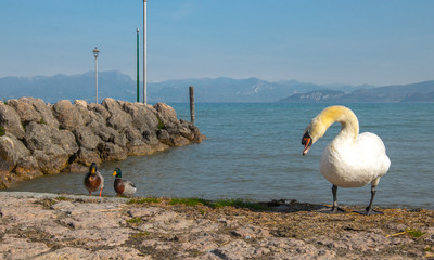 Swan and ducks in Garda lake, Italy