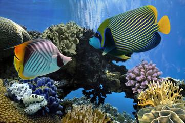 Angelfish (Pomacanthidae)