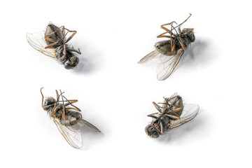 Close-up shot of four dead flies on a white background