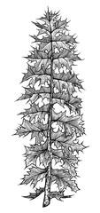 Thistle leaf illustration, drawing, engraving, ink, line art, vector