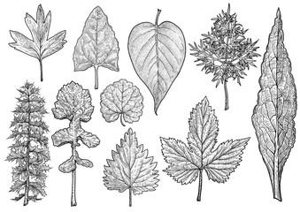 Leaf collection illustration, drawing, engraving, ink, line art, vector